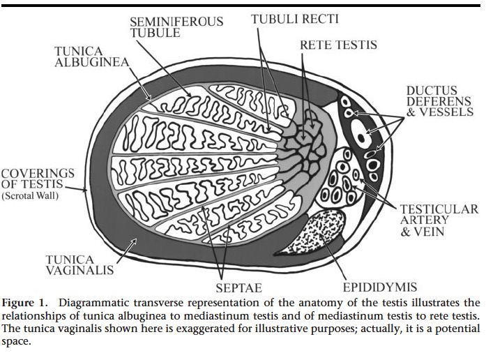 Sonography of the Scrutum. Vikram S et al. Radiology 2003.