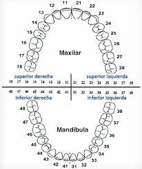 Numeración dental.